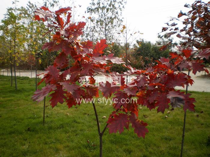美国红橡(红栎)