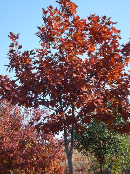 欧洲红橡(红栎)树