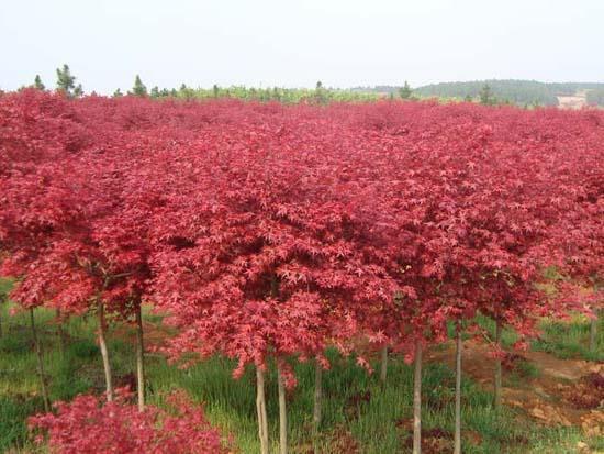 日本红枫树